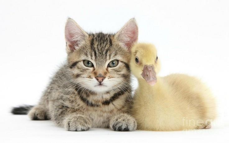 kitten-gosling